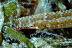 Reef Pipefish