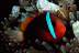 Dusky Anemonefish