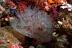 Protula magnifica Worm