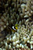 Juvenile Clarks Anemonefish