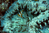 Juvenile Clarks Anemonefish in Beaded Anemone