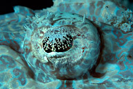 White Crocodilefish Eye