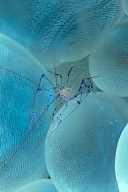 Vir phillippinensis Shrimp in Bubble Coral