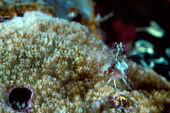 Triplefin with Coral Hermit Crab