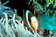 Clarks Anemonefish