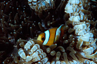 Clarks Anemonefish in Beaded Anemone