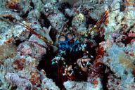 Odontodactylus scyllarus Mantis Shrimp