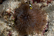 Juvenile Clarks Anemonefish