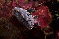 Elegant Nudibranch