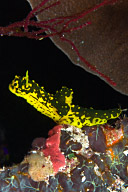 Notodoris gardneri Nudibranch