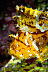 Leaf Scorpionifish