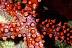 Gomophia egeria Seastar