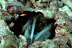 Gold Specs Jawfish