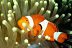 Oscellaris Clownfish