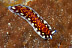 Pseudoceros lindae Flatworm