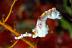Hippocampus pontohi, Weedy Pygmy Seahorse