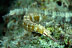 Yellow Spotted Pipefish