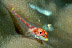 Largemouth Triplefin