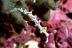 Flabellina riwo Nudibranch