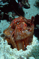 Lysiosquillina lisa Mantis Shrimp