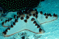 Protoreastor nodosus Seastar