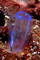 Tunicate