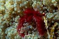 Orangutan Crab