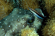 Puffer with Cleaner Blenny