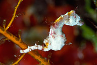 Hippocampus pontohi, Weedy Pygmy Seahorse