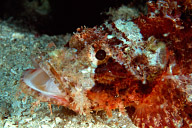 Yawning Scorpionfish