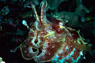 Broadclub Cuttlefish