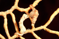 Hippocampus denise Pygmy Seahorses