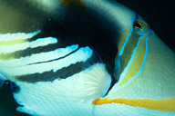 Lei Triggerfish
