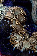 Tridacna Clam Mantle
