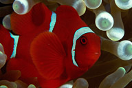 Spiinecheek Anemonefish