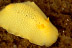 Lemon Dorid Nudibranch