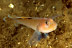 Blackeye Goby