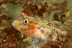 Black Eye Goby