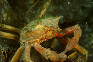 Kelp Crab