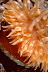 Urticina Anemone