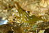 Green Coonstripe Shrimp