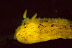 Archidoris montereyensis Nudibranch