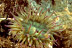 Aggregating Anemone