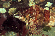 Painted Greenling