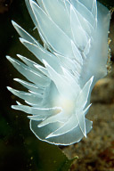 White Lined Dirona Nudibranch