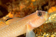 Black Eyed Goby