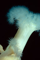 Metridium Anemone