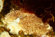 Aeolidia papillosa (Shaggy Mouse) Nudibranch