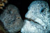 Wolf Eel Pair