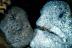 Wolf Eel Pair